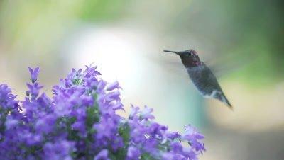 Hummingbird feeds in bellflowers