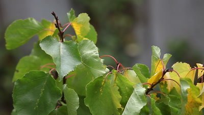 close-up of apricot leaves in the process of changing color