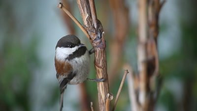 A chestnut-backed chickadee watches the camera.