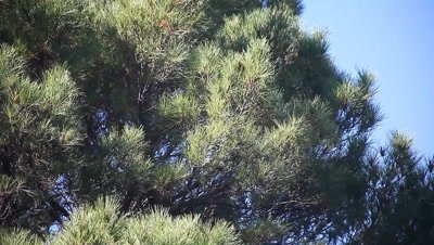 large pine tree on a windy day
