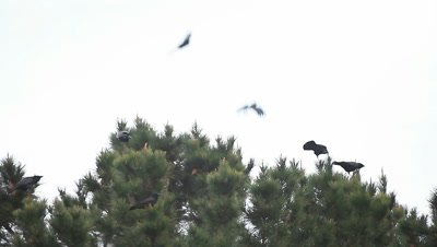 Several crows seem to enjoy perching at the tips of a pine tree during very gusty winds.