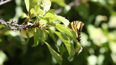 A swallowtail butterfly is blown about but hangs on through gusty winds.