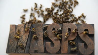 dazed and dead yellow jackets on and above the word 'wasps' in old wood type