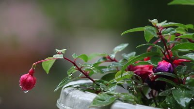 a potted fuchsia plant during a rain shower