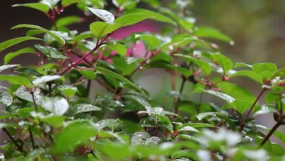Rain falls on the lush foliage of a fuchsia plant.