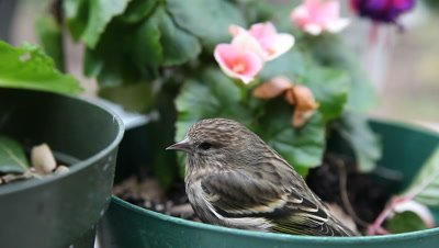 A stunned goldfinch sits in a potted plant after flying into a window.