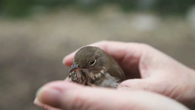 stunned immature bird being checked to see if its feet are uninjured