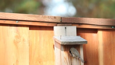 Tufted titmouse birds land and take off from their nest box