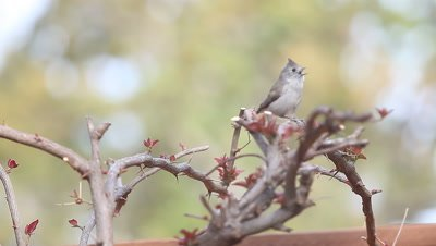 Lively tufted titmouse hops around a shrub in spring.