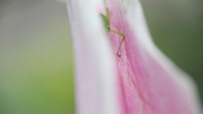 Macro view of a young katydid half-hidden on a stargazer lily petal