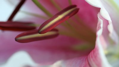 Closeup view of the male reproductive parts of a stargazer lily