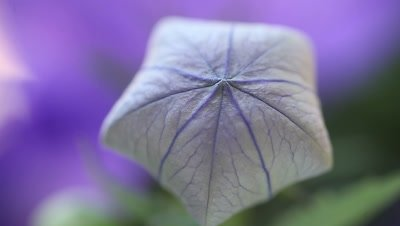 Flower, also known as Chinese bellflower, that looks like a balloon before opening up
