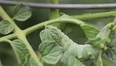Tomato or tobacco hornworm slowly moves through a tomato plant.