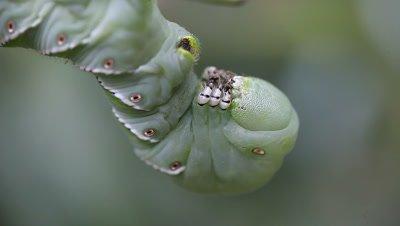 Tomato hornworm closeup