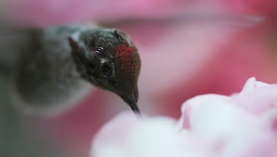 Very close in to a hummingbird going through a partial molt with new feathers coming in on its head  with audio of wings