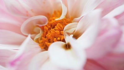 Center of a white dahlia with pink and magenta markings