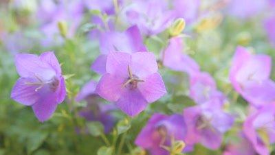 Closeup view of campanula or bellflowers