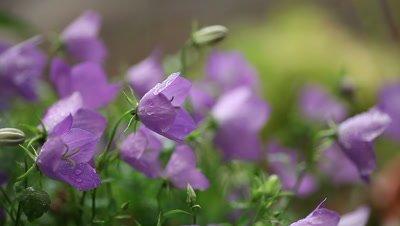 Bellflowers in late summer