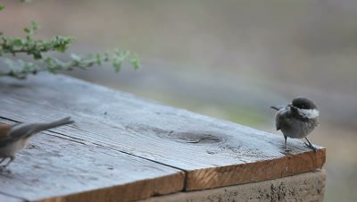 Hungry fledgling chickadee vibrates its wings and asks to be fed.