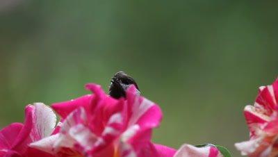 A curious chickadee checks out the filming setup for hummingbirds.