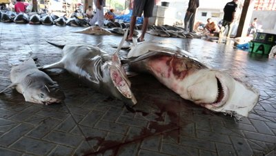 Hammerhead sharks on fish market cutting room floor