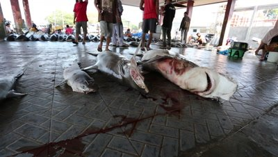 Hammerhead sharks at fish market butchery