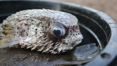 Puffer fish on a plate at fish market