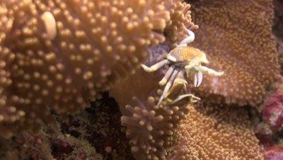 Porcelain crab catching nutrients
