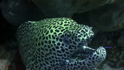 Close up of gasping spotted moray