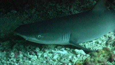 White tip reef shark hiding under overhang