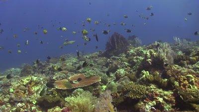 School of butterflyfish across pretty coral reef