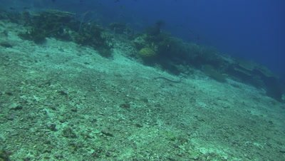 Swimming sea snake close pass by