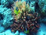 Pink Anemone With Clown Upon It