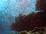 Clouds Of Red Anthias Covering An Engine Of The Wreck
