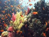 Beautiful Soft Corals Covered By Red Anthias