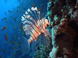 Lion Fish Facing The Camera At The Reef