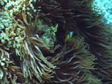 Huge Patch Of Anemone With Clown On Top