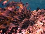 Shoal Of Yellow Striped Snapper Gathered On Top Of The Reef