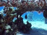 Blue Spotted Ray And Emperor Under Neath Acropora Coal
