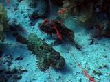 Two Stonefish On Sand Bottom