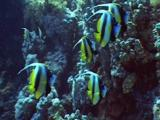 Small Group Of Bannerfish On Reef