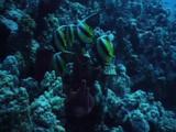 Bannerfish Feed On Reef