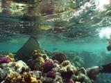 Spotted Eagle Ray Swims On Shallow Reef Toward Diver