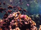 Triggerfish And Butterflyfish Gather Above Shallow Reef
