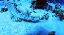 Crocodilefish On Sand