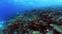 School Of Sergeant Majors Gathered On Reef