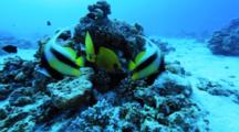 Banner And Butterfly Fish On Reef