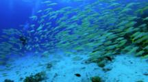 Large Shoal Of Goat Fish With Divers In The Background
