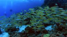 Large Shoal Of Goat Fish With Divers At The Background