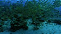 Large Shoal Of Goat Fish On Reef